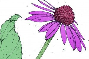 What it does… echinacea