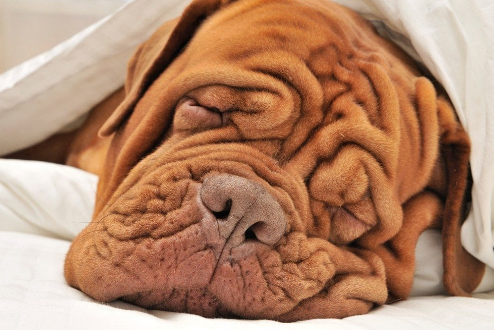 Dog with wrinkled face