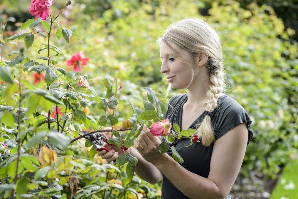 RHS Wisley Garden - Deadheading Roses.